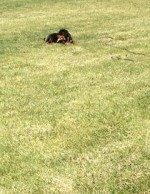 ​King-5 Mos.Rottweiler Extended Lead/Stay Re-inforcement