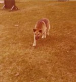 Patrol Detection Dog 1975<br /> Sandy