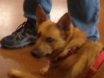 Peyton 3 yr. old N. Carolina Dog (Am. Dingo)