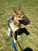 Roscoe-15 Mos.                 Muzzle Restraint for Aggression